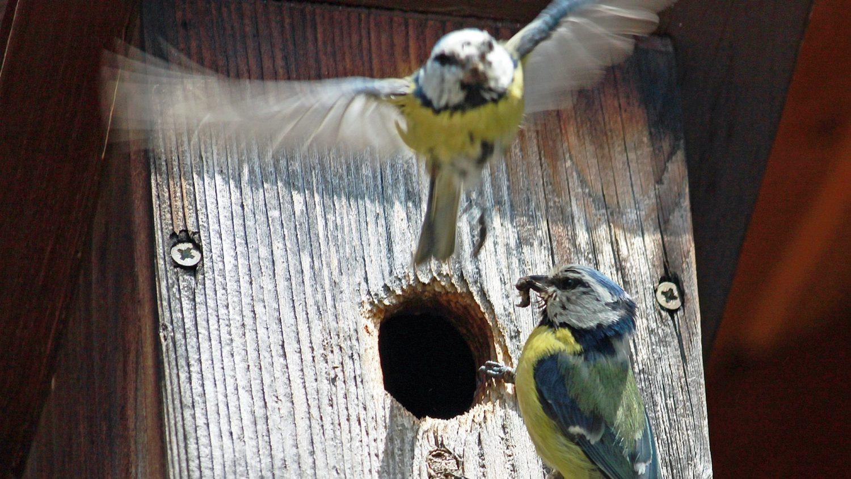 Koppel pimpelmezen aan nestkastje