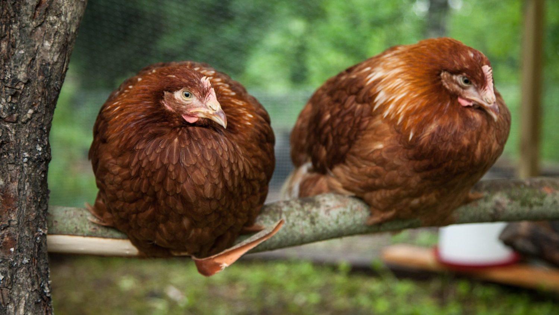 Twee bruine kippen op stok